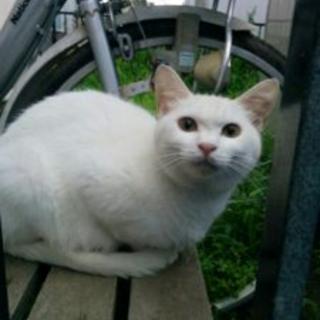 白猫好きさんへ「シーシー」(女)