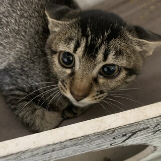 アビシニアンみたいな柄の子猫♀