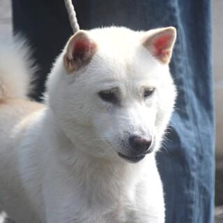 紀州犬 ショータイプの美犬 いったん中止