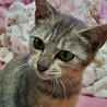 10月7日保護、生後4ヶ月の淡いキジ猫