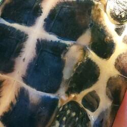 亀の甲羅(お腹側)が欠けましたサムネイル