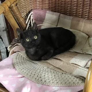 黒猫胸元ダイヤ型 約2ヵ月半 10/18譲渡会予定