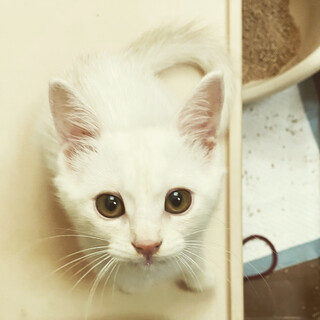 天真爛漫!お転婆な白猫めいちゃん