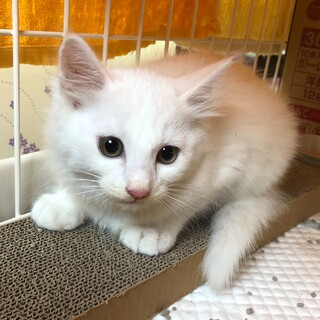 生後3ケ月 白猫 シュガー