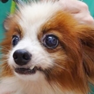 保護犬ナンバーD1447 パピヨン