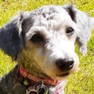 保護犬ナンバーD1463 トイプードル