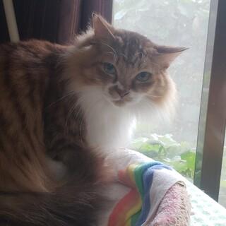 長毛の雑種猫です。