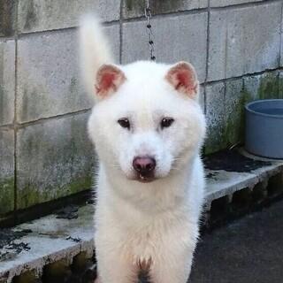 紀州犬 ショータイプの美犬 1歳オス