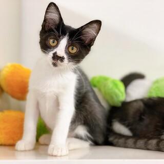甘えん坊でオモチャが大好き♪ 白黒の子猫ちゃん♪