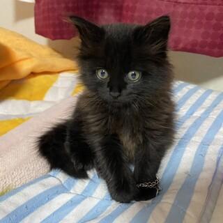 2ヶ月長毛黒猫男の子