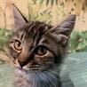 [募集一時停止]長毛グレートラ♂子猫