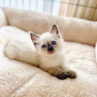 【シャムミックス】長毛子猫のふわくん