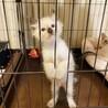 【シャムミックス】長毛子猫のふわくん サムネイル3