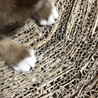 2ヶ月 手袋と靴下をはいた可愛い子猫♀ サムネイル4
