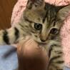 2ヶ月 手袋と靴下をはいた可愛い子猫♀ サムネイル6