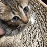 2ヶ月 手袋と靴下をはいた可愛い子猫♀ サムネイル3