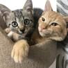【まん丸おめめ】キジトラ子猫のととくん サムネイル3