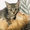 【まん丸おめめ】キジトラ子猫のととくん サムネイル5
