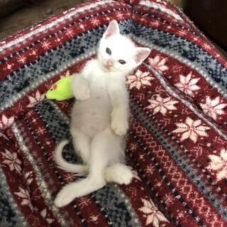 可愛らしい 白猫ぼうや