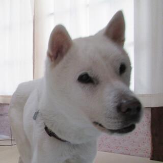 紀州犬 12歳 ♂