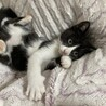 白黒 はちわれ メス 3ヶ月 甘えん坊イオンちゃん サムネイル4
