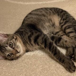 生後4ヶ月半、甘えん坊のキジトラくん