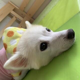 【小平市】ベッタリ甘えん坊スピッツのユリちゃん