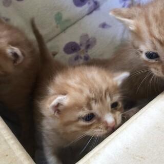 茶トラ3兄弟の子猫☆里親募集
