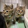 キジトラ子猫男の子2匹。 ※別々の譲渡可能です。 サムネイル2