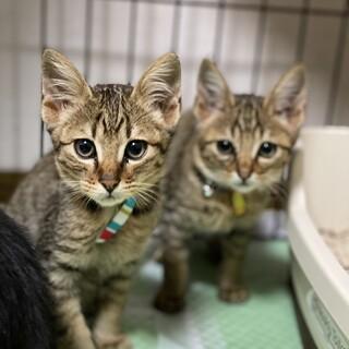 キジトラ子猫男の子2匹。 ※別々の譲渡可能です。