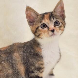 美猫・ミーシャちゃん♡LINEビデオ通話お見合い可