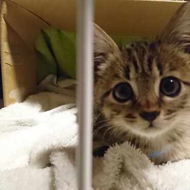 10月12日 アニマルクリニックにて初診。猫3種混合ワクチン接種とブロードラインを処方。