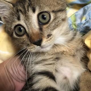2ヶ月 手袋と靴下をはいた可愛い子猫♀
