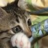 2ヶ月 手袋と靴下をはいた可愛い子猫♀ サムネイル2