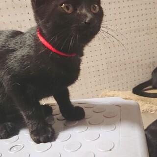 可愛い黒猫ちゃん❤️おとなしめの女の子2ヶ月