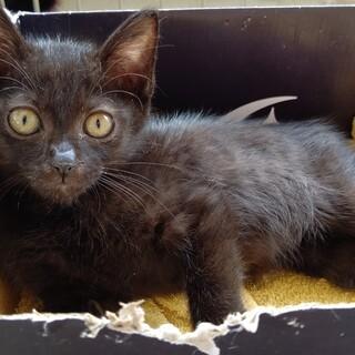 【保護猫】くまちゃん♀子猫・黒猫