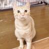 かわいい茶トラ女の子!人慣れ特訓中です☆兄弟猫