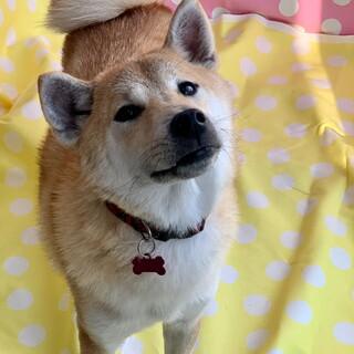 感情表現豊かな柴犬♀すずね1歳