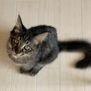 ☆子猫!長毛さん*キジ柄のピケくん☆♂