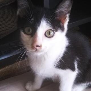 まだまだチビにゃんの、白黒の仔猫!