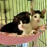 【10/24芝浦】先住猫ありでも安心ぐりぐら兄弟