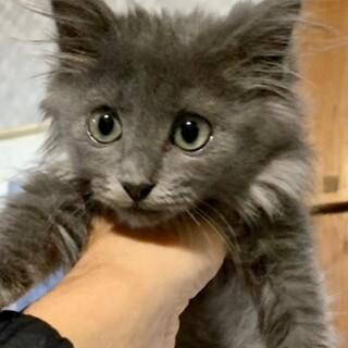 cat-W971 ロシアンブルーの毛色モフモフ♪