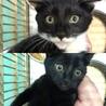 白黒マスク柄と黒毛の2子猫兄妹生後3〜4ヶ月