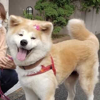 素敵女子「秋田犬-花奏-」再募集