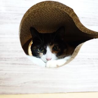 【10/25東日本橋】美形のお返事猫♡まつりちゃん