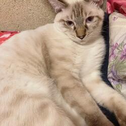 ペルシャが入った雑猫