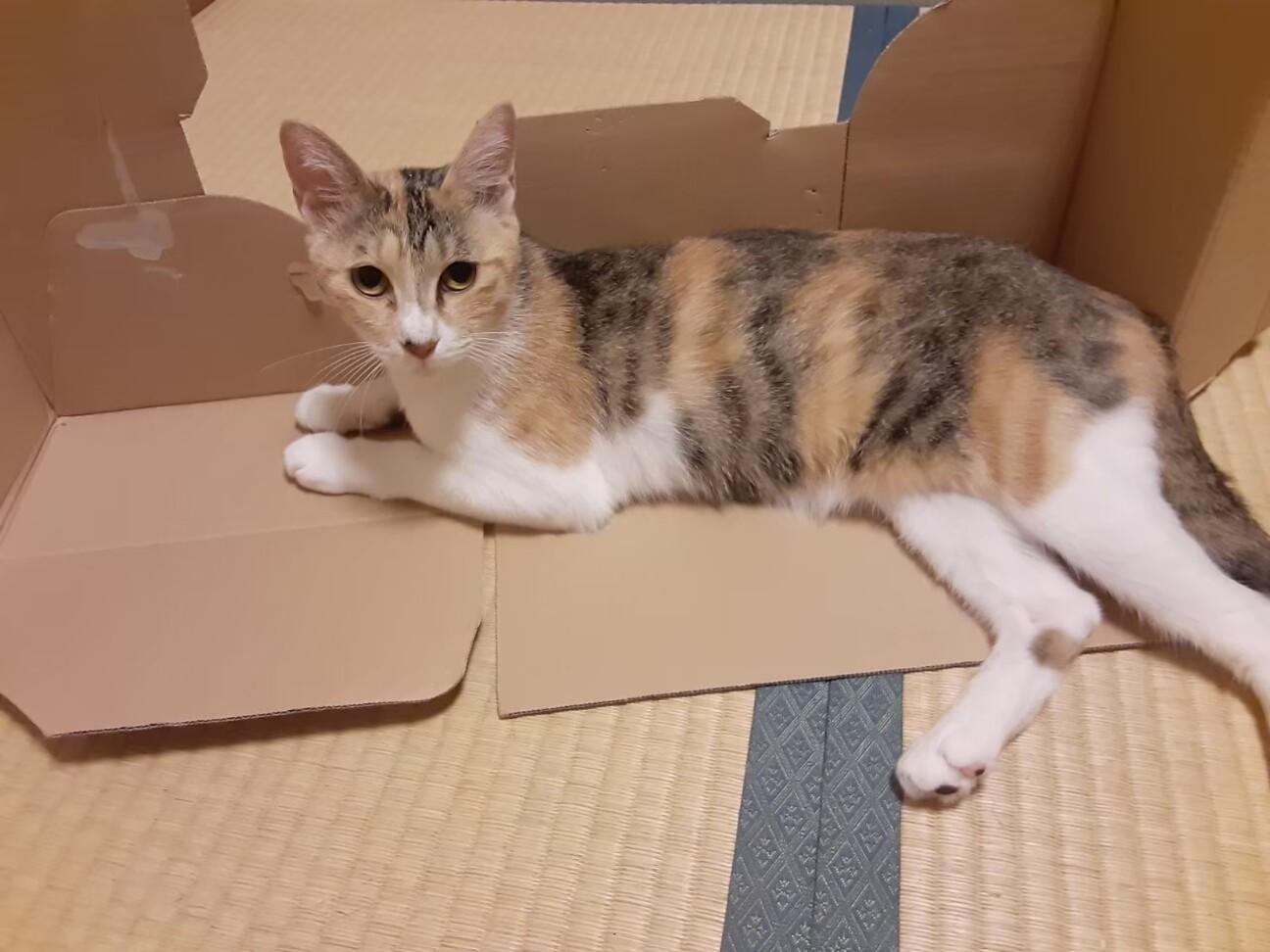 「パステル三毛 物おじしな...」千葉県 - 猫の里親募集(338368)