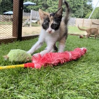 元気いっぱいな三毛猫サテちゃん2ヶ月