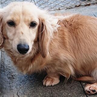 繁殖引退犬のミニチュアダックスの4歳の女の子です