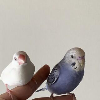 セキセインコ2羽 文鳥1羽